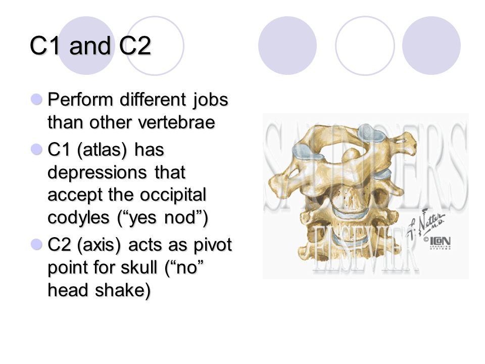 C1 and C2 Perform different jobs than other vertebrae Perform different jobs than other vertebrae C1 (atlas) has depressions that accept the occipital