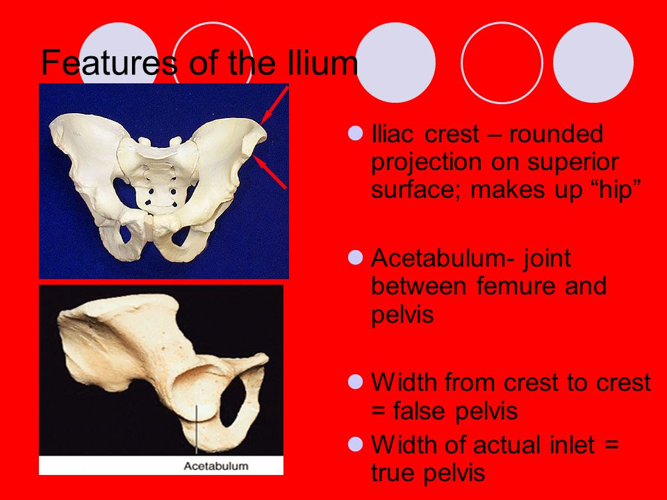 "Features of the Ilium Iliac crest – rounded projection on superior surface; makes up ""hip"" Acetabulum- joint between femure and pelvis Width from cres"