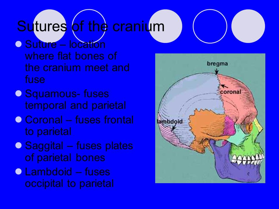 Sutures of the cranium Suture – location where flat bones of the cranium meet and fuse Squamous- fuses temporal and parietal Coronal – fuses frontal t