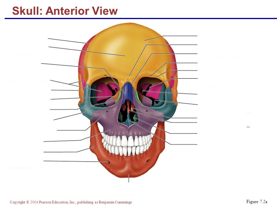 Copyright © 2004 Pearson Education, Inc., publishing as Benjamin Cummings Skull: Anterior View Figure 7.2a