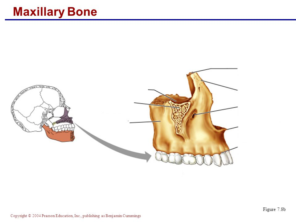 Copyright © 2004 Pearson Education, Inc., publishing as Benjamin Cummings Maxillary Bone Figure 7.8b