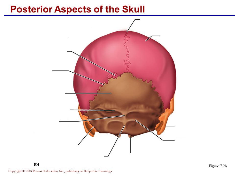 Copyright © 2004 Pearson Education, Inc., publishing as Benjamin Cummings Posterior Aspects of the Skull Figure 7.2b