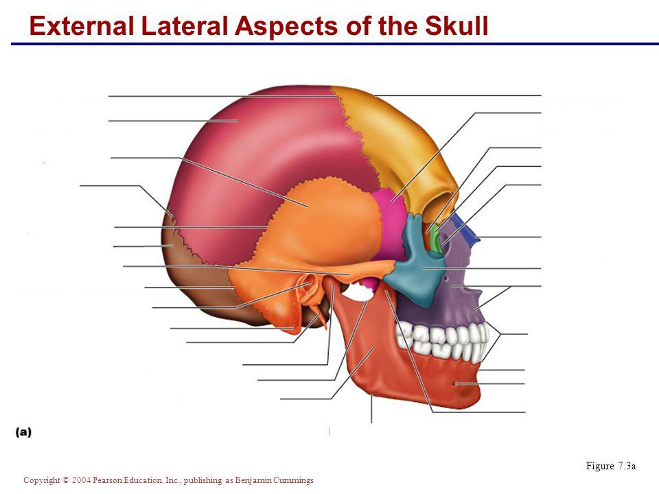 Copyright © 2004 Pearson Education, Inc., publishing as Benjamin Cummings Midsagittal Lateral Aspects of the Skull Figure 7.3b