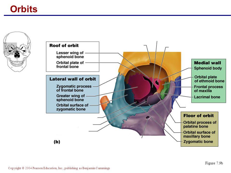 Copyright © 2004 Pearson Education, Inc., publishing as Benjamin Cummings Nasal Cavity Figure 7.10a