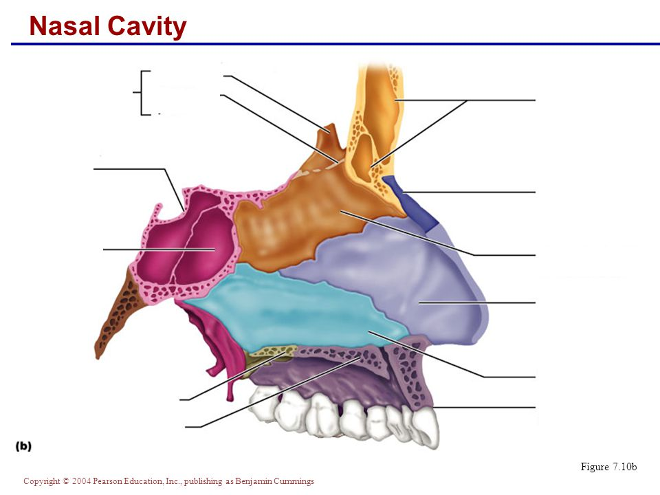 Copyright © 2004 Pearson Education, Inc., publishing as Benjamin Cummings Nasal Cavity Figure 7.10b