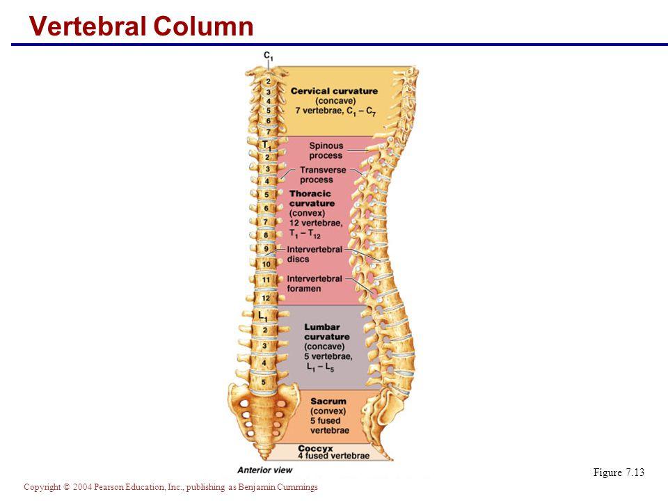 Copyright © 2004 Pearson Education, Inc., publishing as Benjamin Cummings Vertebral Column: Ligaments Figure 7.14a