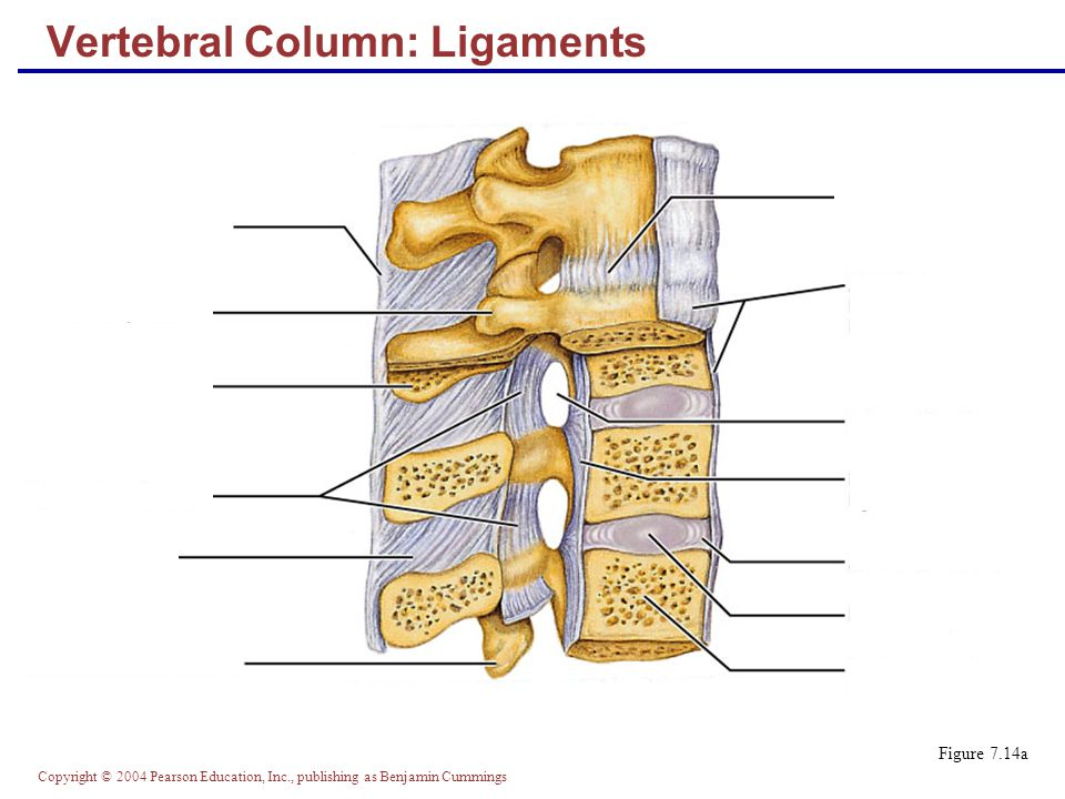 Copyright © 2004 Pearson Education, Inc., publishing as Benjamin Cummings Vertebral Column: Ligaments Figure 7.14a