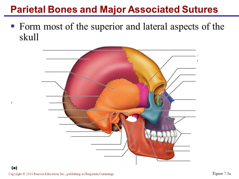 Copyright © 2004 Pearson Education, Inc., publishing as Benjamin Cummings Parietal Bones and Major Associated Sutures  Form most of the superior and lateral aspects of the skull Figure 7.3a