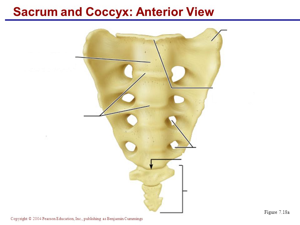 Copyright © 2004 Pearson Education, Inc., publishing as Benjamin Cummings Sacrum and Coccyx: Posterior View Figure 7.18b
