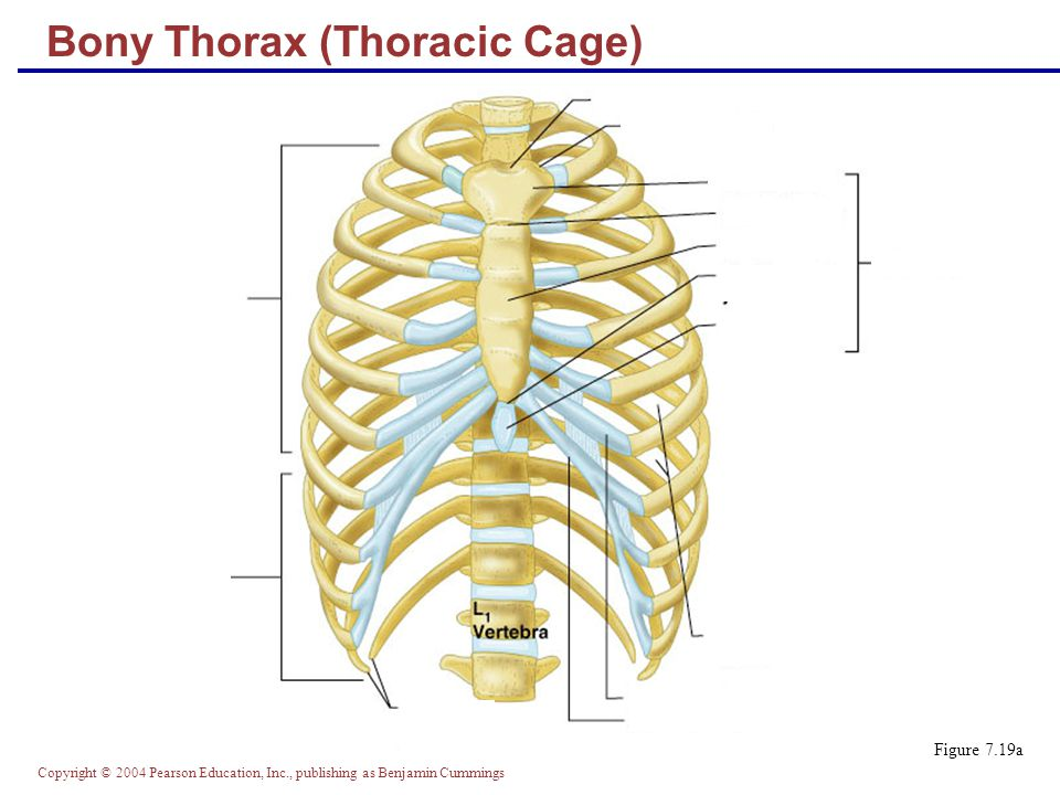 Copyright © 2004 Pearson Education, Inc., publishing as Benjamin Cummings Bony Thorax (Thoracic Cage) Figure 7.19b
