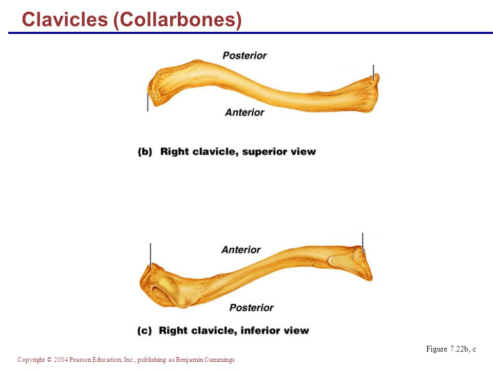 Copyright © 2004 Pearson Education, Inc., publishing as Benjamin Cummings Clavicles (Collarbones) Figure 7.22b, c