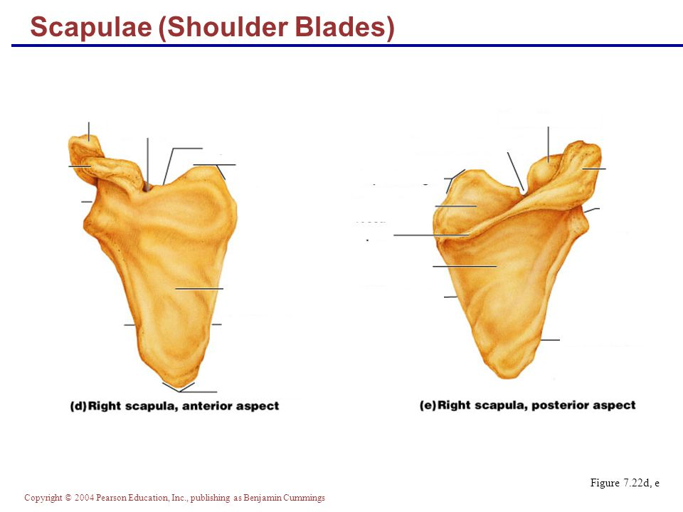 Copyright © 2004 Pearson Education, Inc., publishing as Benjamin Cummings Scapulae (Shoulder Blades) Figure 7.22d, e