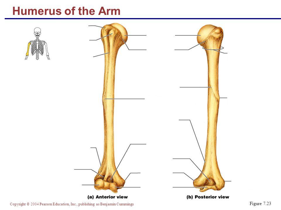 Copyright © 2004 Pearson Education, Inc., publishing as Benjamin Cummings Bones of the Forearm Figure 7.24