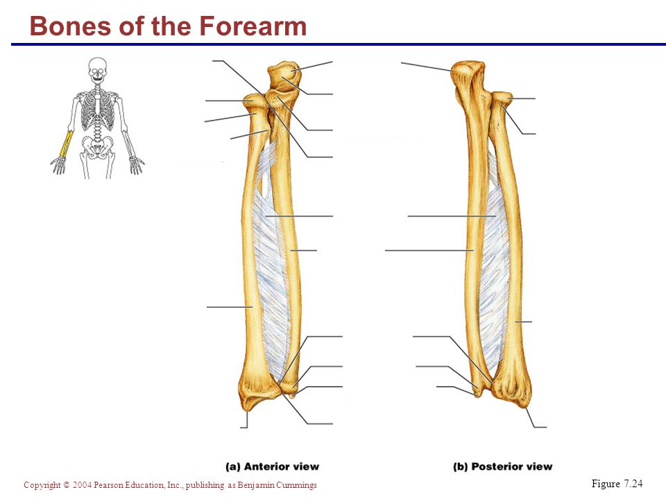 Copyright © 2004 Pearson Education, Inc., publishing as Benjamin Cummings Bones of the Forearm Figure 7.24