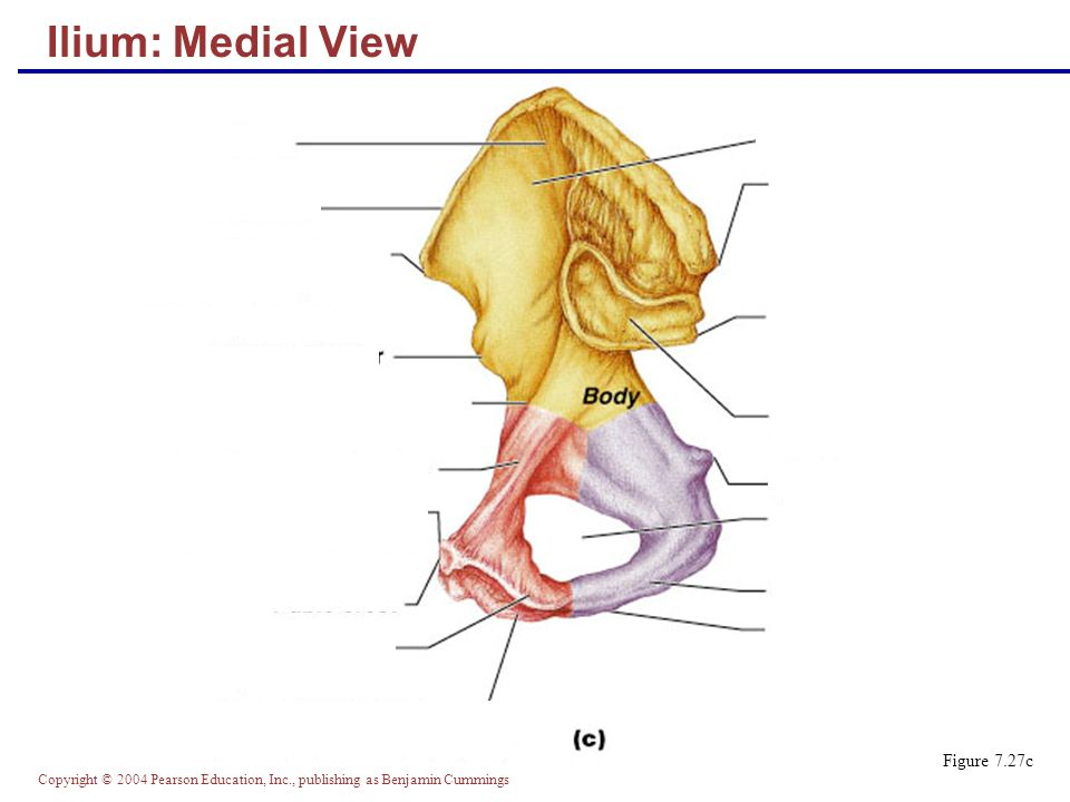 Copyright © 2004 Pearson Education, Inc., publishing as Benjamin Cummings Ilium: Medial View Figure 7.27c