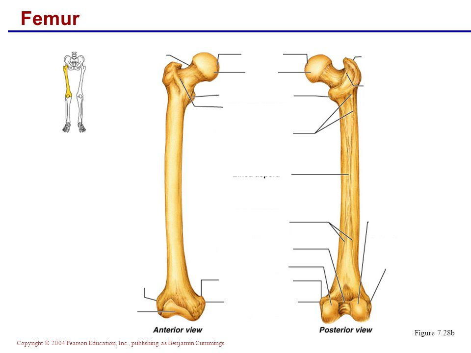 Copyright © 2004 Pearson Education, Inc., publishing as Benjamin Cummings Femur Figure 7.28b