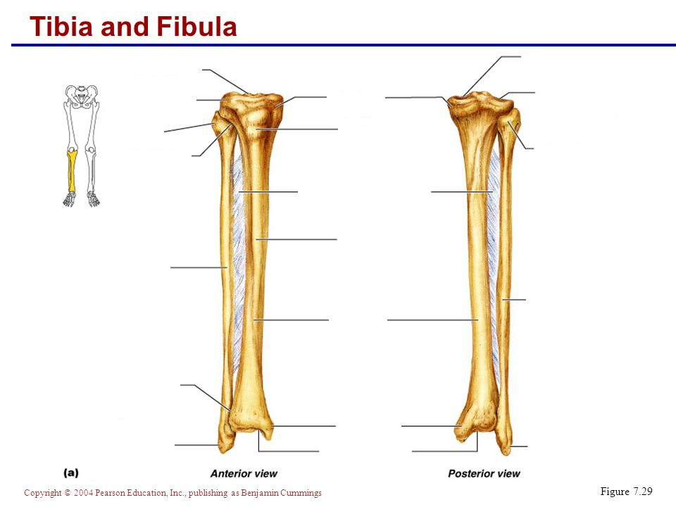 Copyright © 2004 Pearson Education, Inc., publishing as Benjamin Cummings Foot  The skeleton of the foot includes the tarsus, metatarsus, and the phalanges (toes)  The foot supports body weight and acts as a lever to propel the body forward in walking and running Figure 7.31a