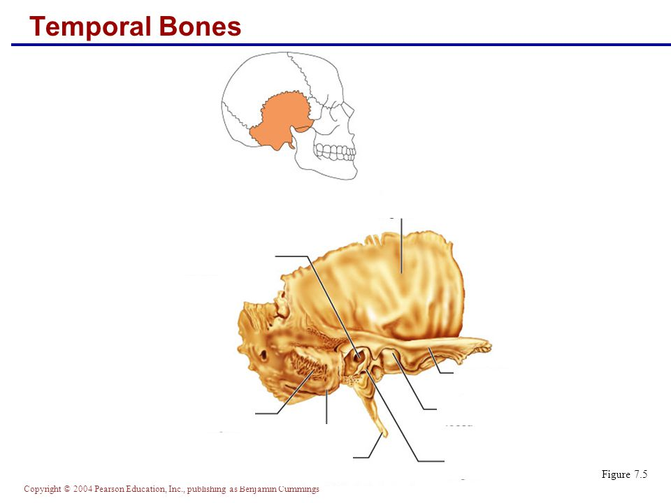 Copyright © 2004 Pearson Education, Inc., publishing as Benjamin Cummings Temporal Bones Figure 7.5
