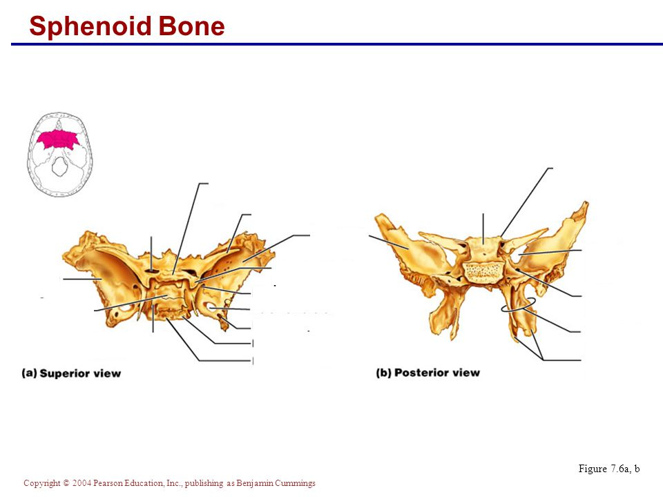 Copyright © 2004 Pearson Education, Inc., publishing as Benjamin Cummings Sphenoid Bone Figure 7.6a, b