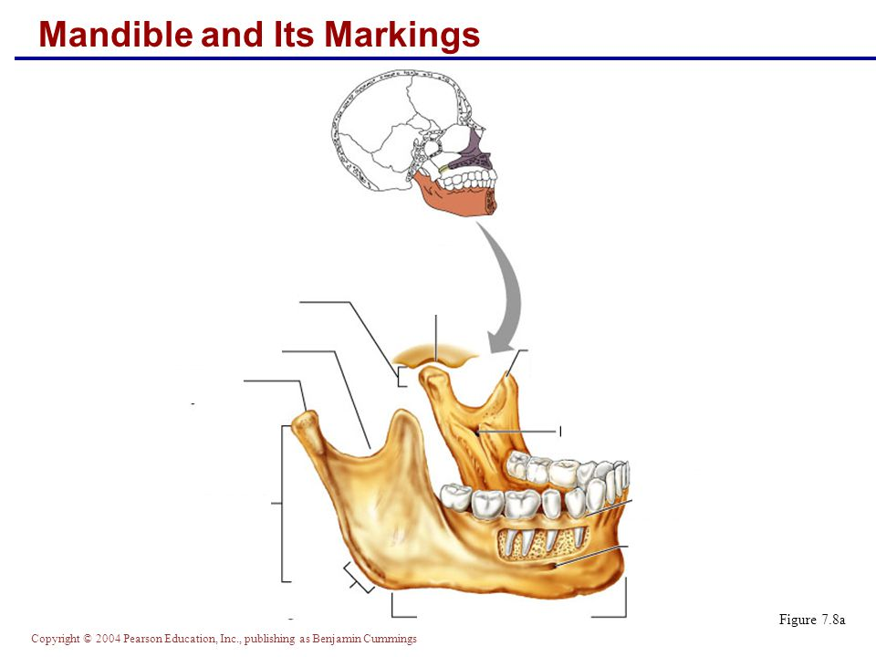 Copyright © 2004 Pearson Education, Inc., publishing as Benjamin Cummings Mandible and Its Markings Figure 7.8a