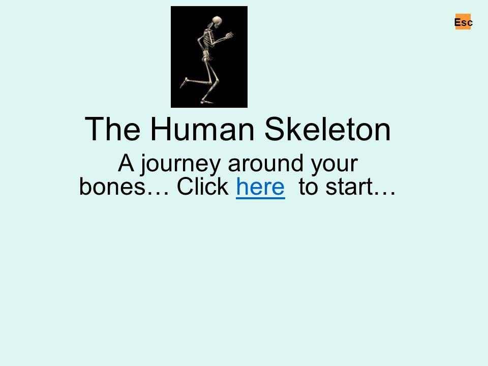 Leg bones Move the cursor over the speaker icons to hear names of the bones