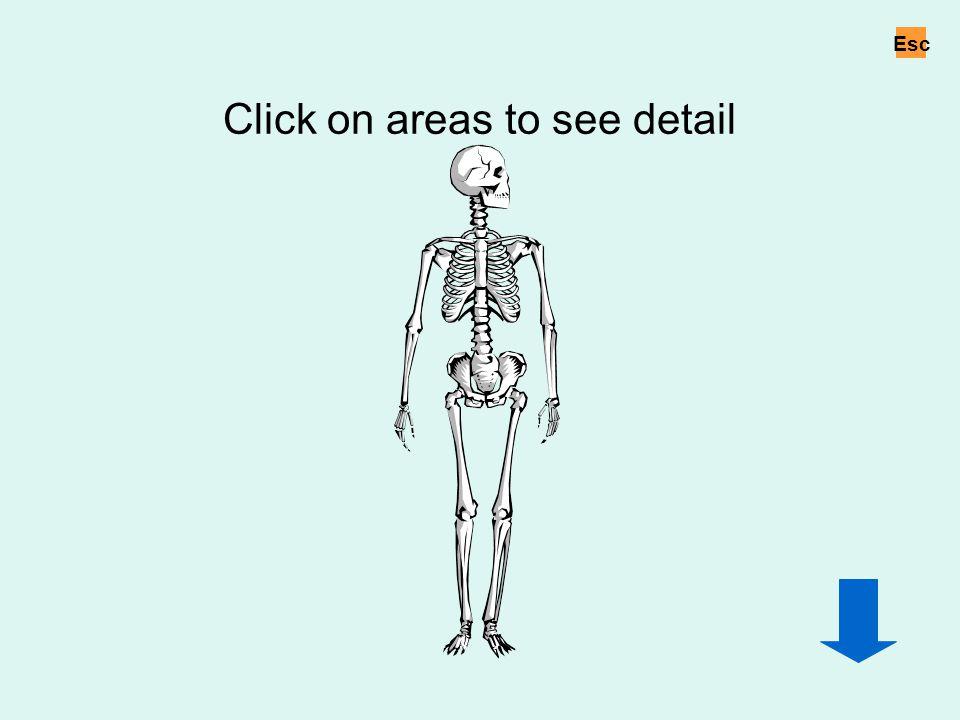 Click on areas to see detail Whole skeleton Esc