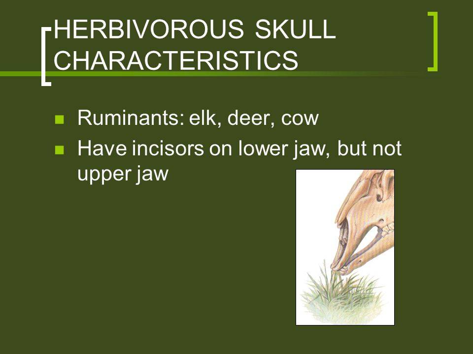 HERBIVOROUS SKULL CHARACTERISTICS Ruminants: elk, deer, cow Have incisors on lower jaw, but not upper jaw