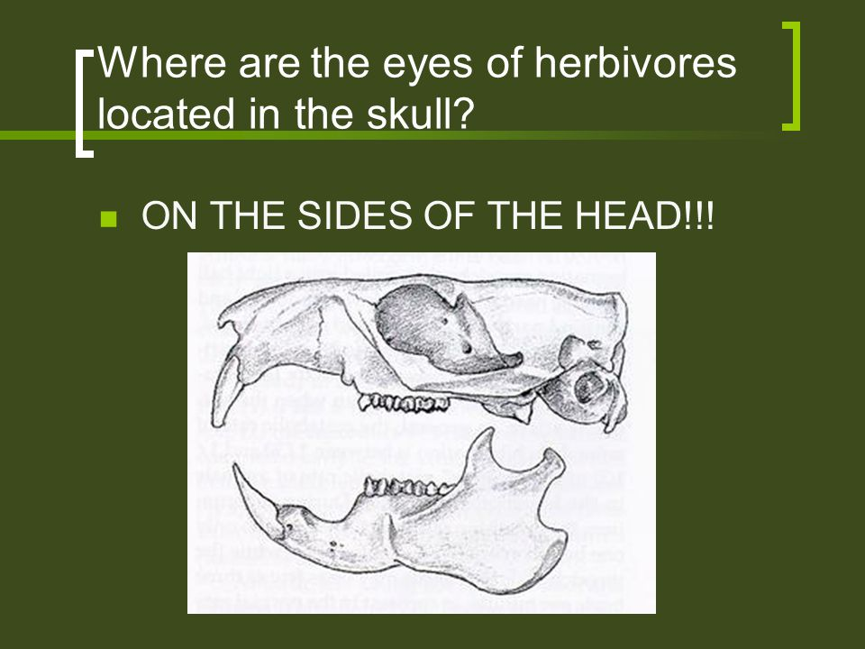Where are the eyes of herbivores located in the skull? ON THE SIDES OF THE HEAD!!!