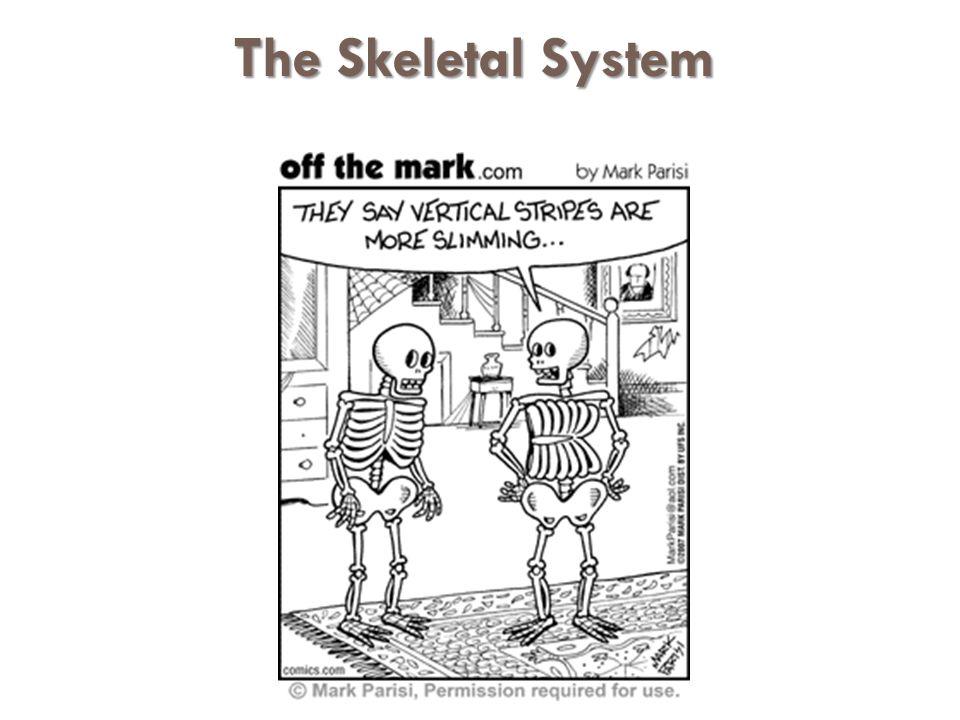 The Skeletal System The Skeletal System