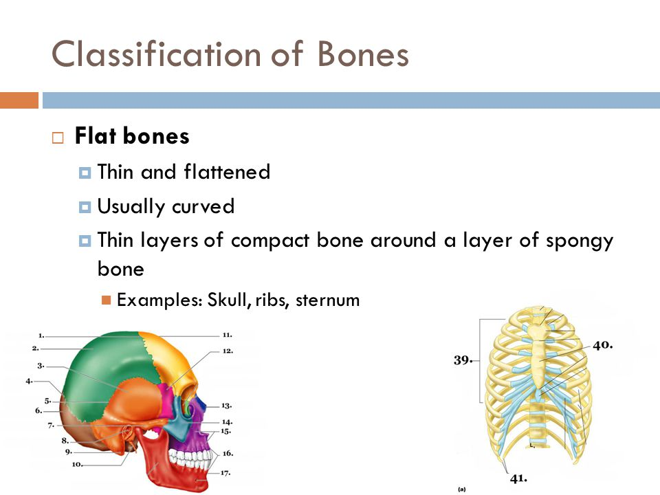 Classification of Bones  Flat bones  Thin and flattened  Usually curved  Thin layers of compact bone around a layer of spongy bone Examples: Skull