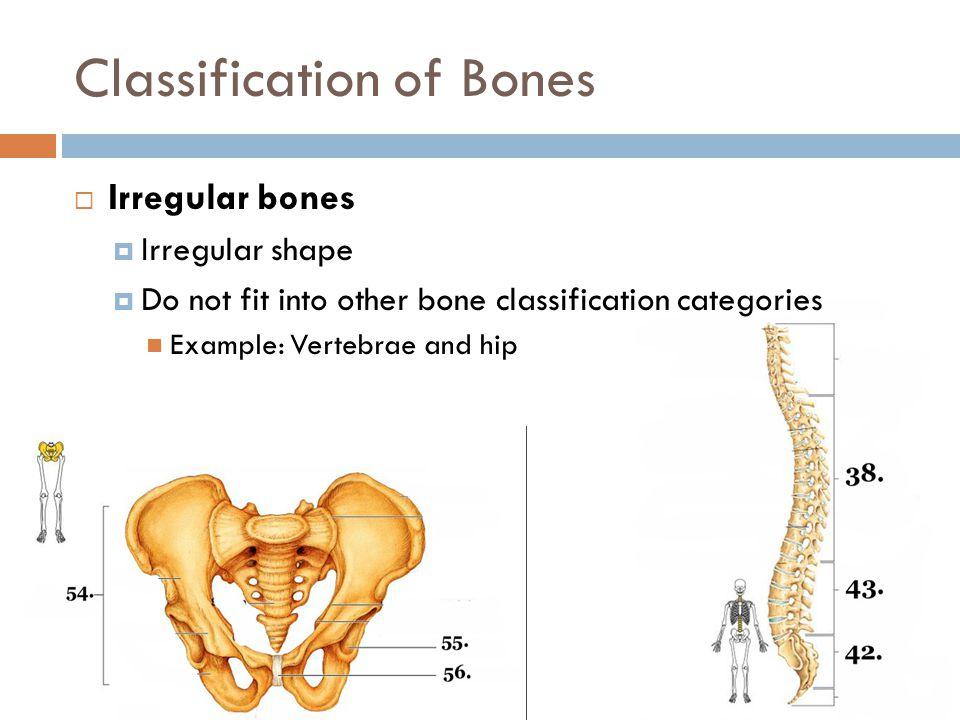 Classification of Bones  Irregular bones  Irregular shape  Do not fit into other bone classification categories Example: Vertebrae and hip