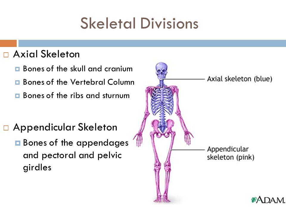 Skeletal Divisions  Axial Skeleton  Bones of the skull and cranium  Bones of the Vertebral Column  Bones of the ribs and sturnum  Appendicular Sk