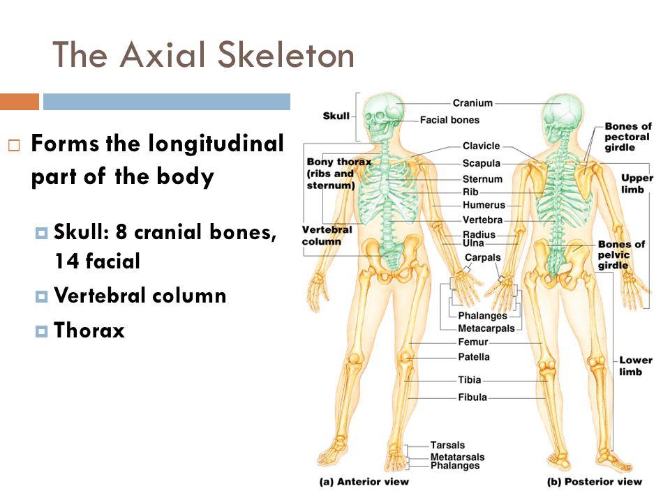 The Axial Skeleton  Forms the longitudinal part of the body  Skull: 8 cranial bones, 14 facial  Vertebral column  Thorax