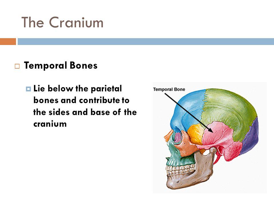 The Cranium  Temporal Bones  Lie below the parietal bones and contribute to the sides and base of the cranium