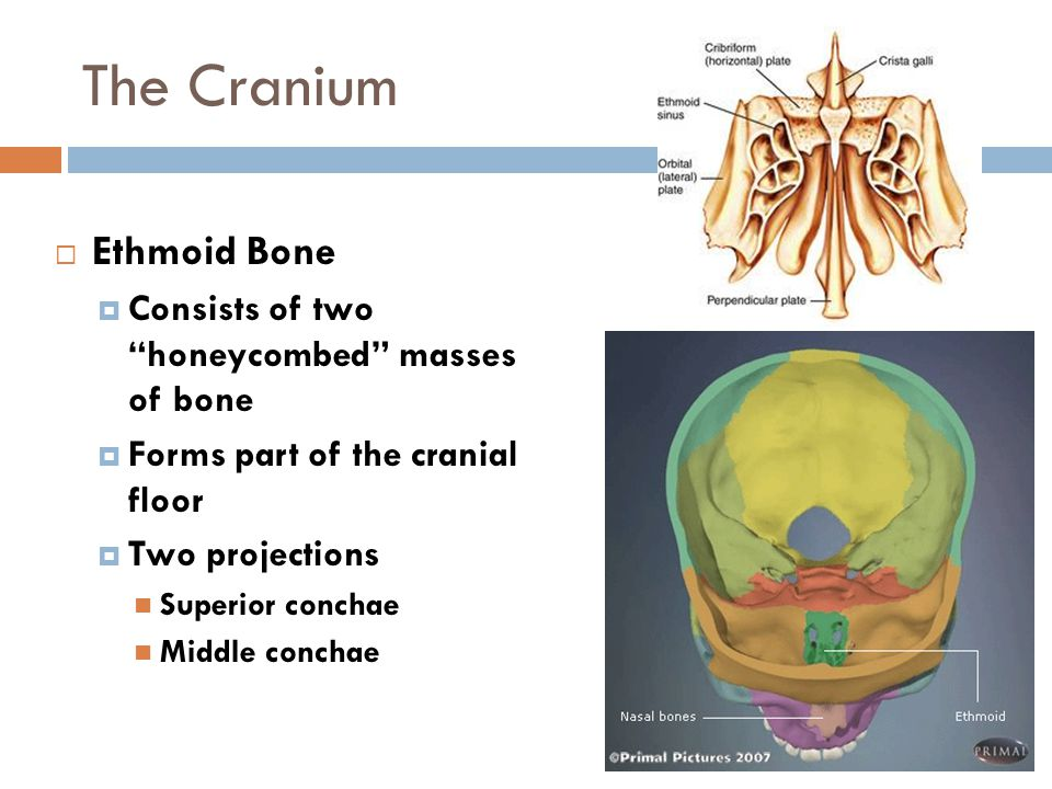 """The Cranium  Ethmoid Bone  Consists of two """"honeycombed"""" masses of bone  Forms part of the cranial floor  Two projections Superior conchae Middle"""