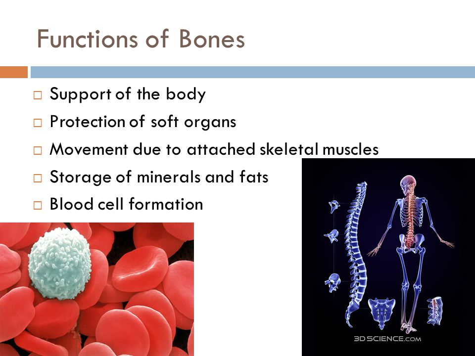 Functions of Bones  Support of the body  Protection of soft organs  Movement due to attached skeletal muscles  Storage of minerals and fats  Bloo