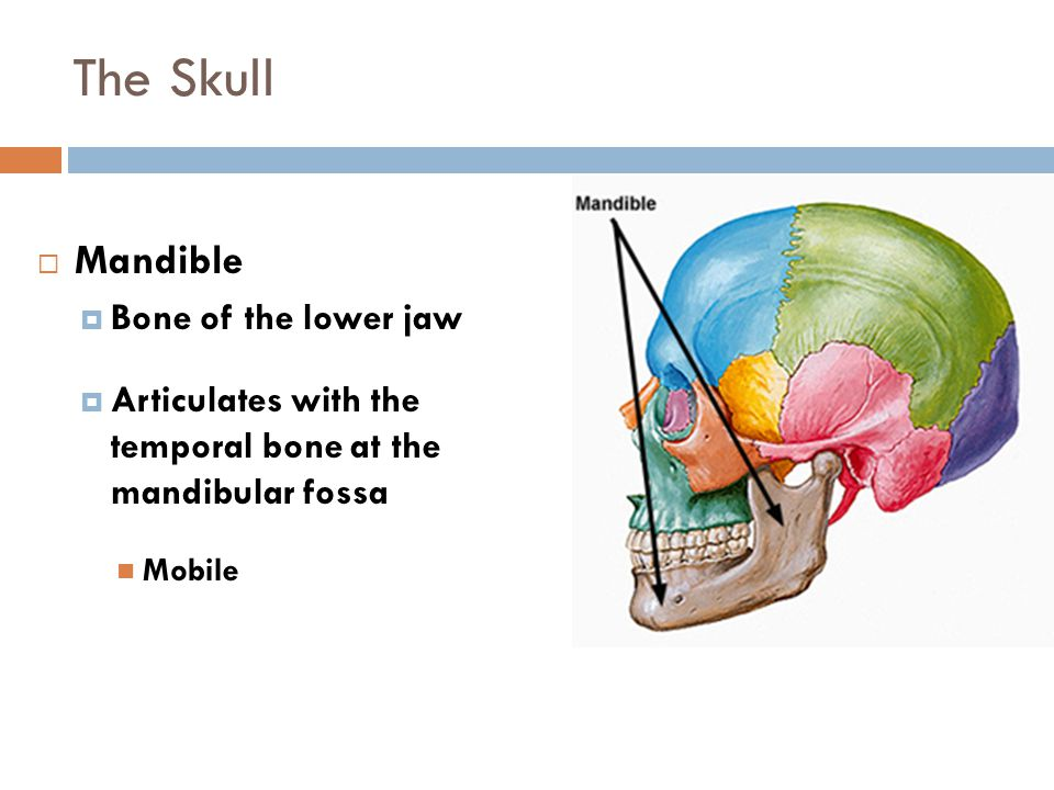 The Skull  Mandible  Bone of the lower jaw  Articulates with the temporal bone at the mandibular fossa Mobile