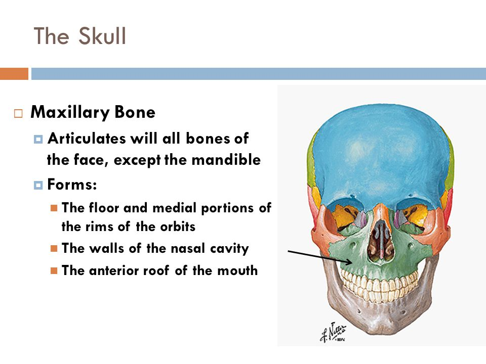 The Skull Figure 6-14  Maxillary Bone  Articulates will all bones of the face, except the mandible  Forms: The floor and medial portions of the rim