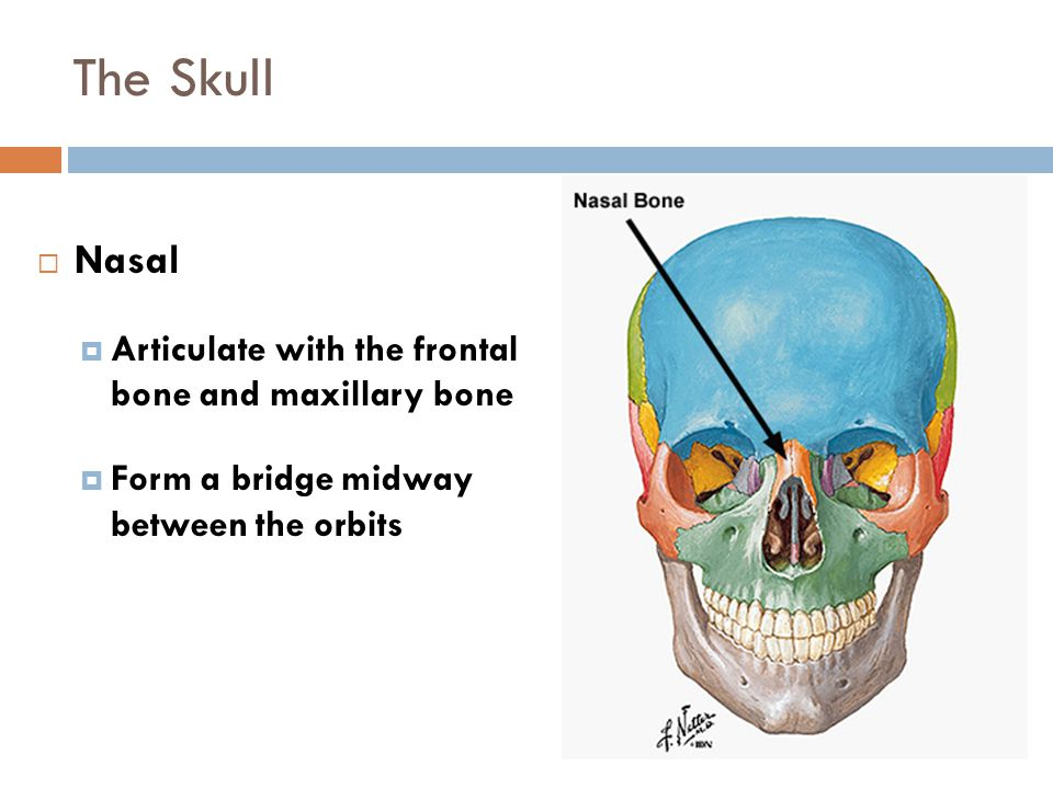 The Skull Figure 6-14  Nasal  Articulate with the frontal bone and maxillary bone  Form a bridge midway between the orbits