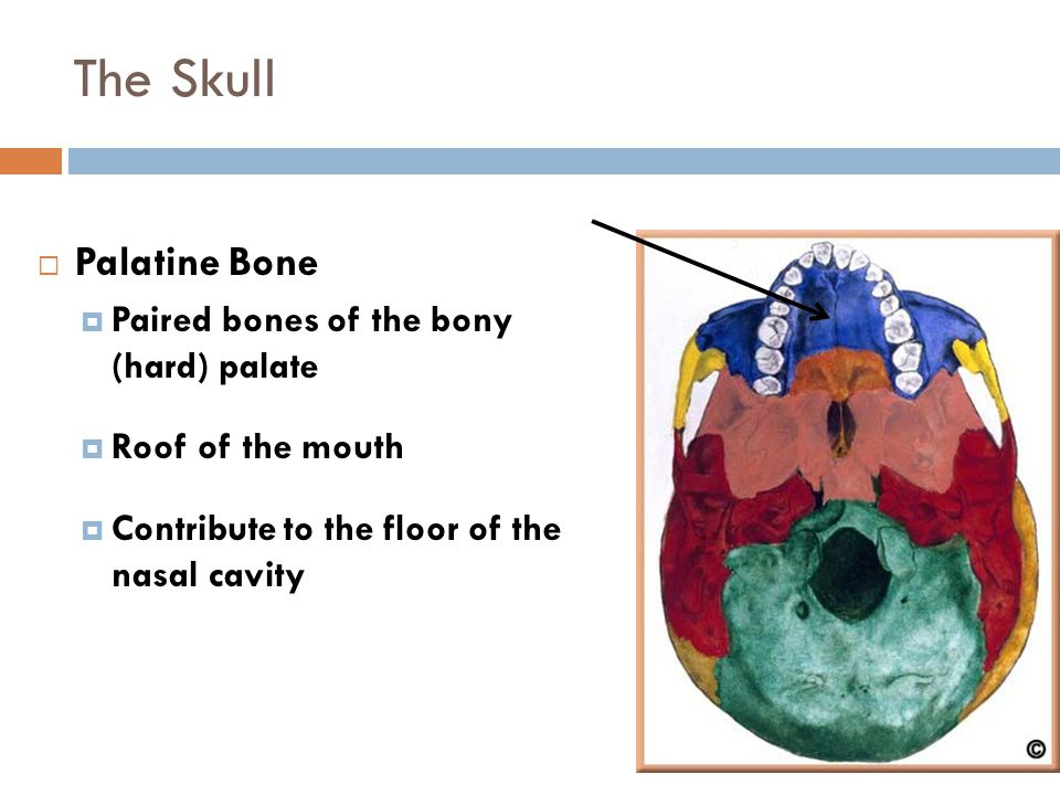 The Skull Figure 6-14  Palatine Bone  Paired bones of the bony (hard) palate  Roof of the mouth  Contribute to the floor of the nasal cavity