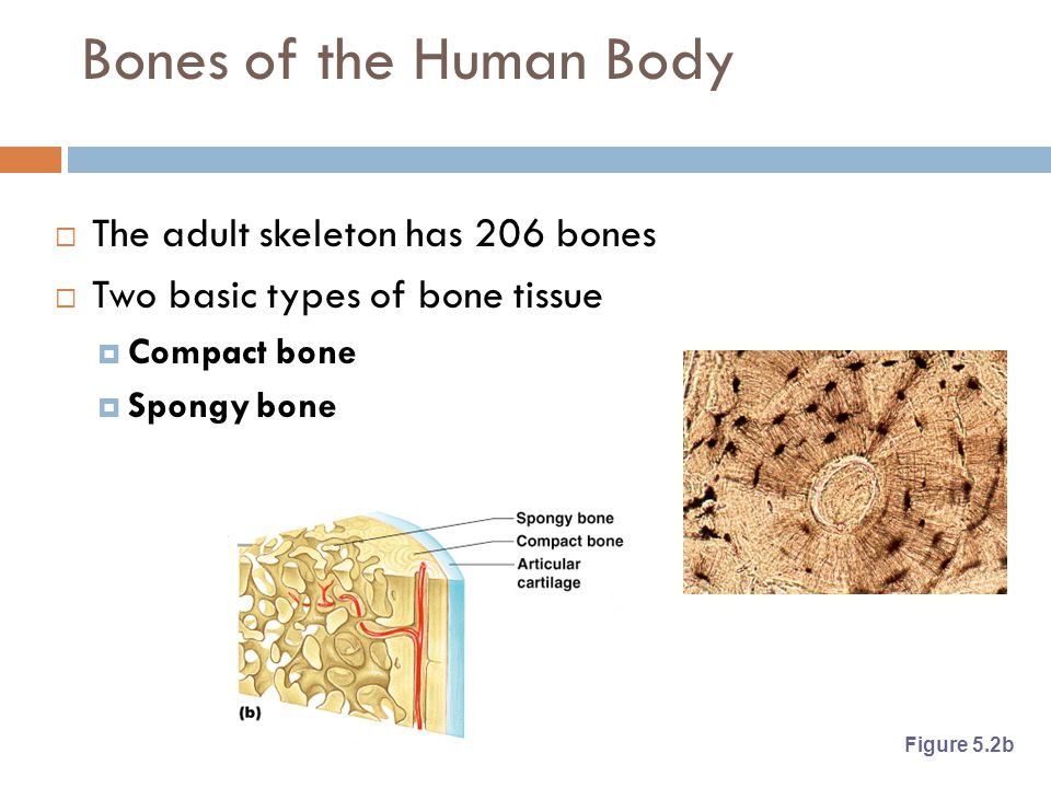 Bones of the Human Body  The adult skeleton has 206 bones  Two basic types of bone tissue  Compact bone  Spongy bone Figure 5.2b