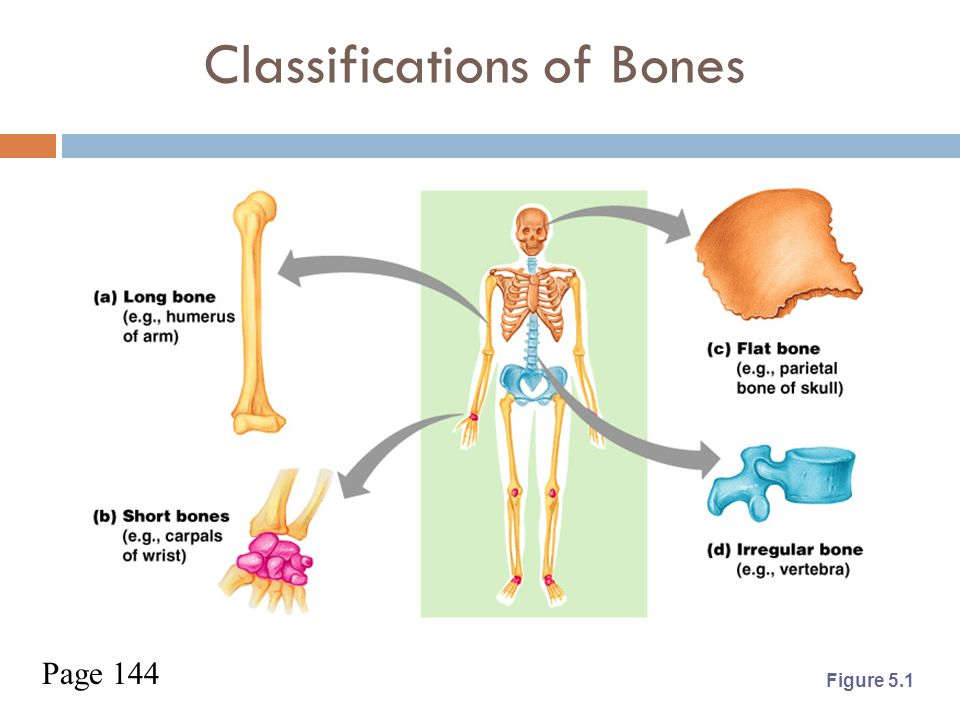 Classification of Bones  Long bones  Typically longer than wide  Have a shaft with heads at both ends  Contain mostly compact bone Examples: Femur, humerus