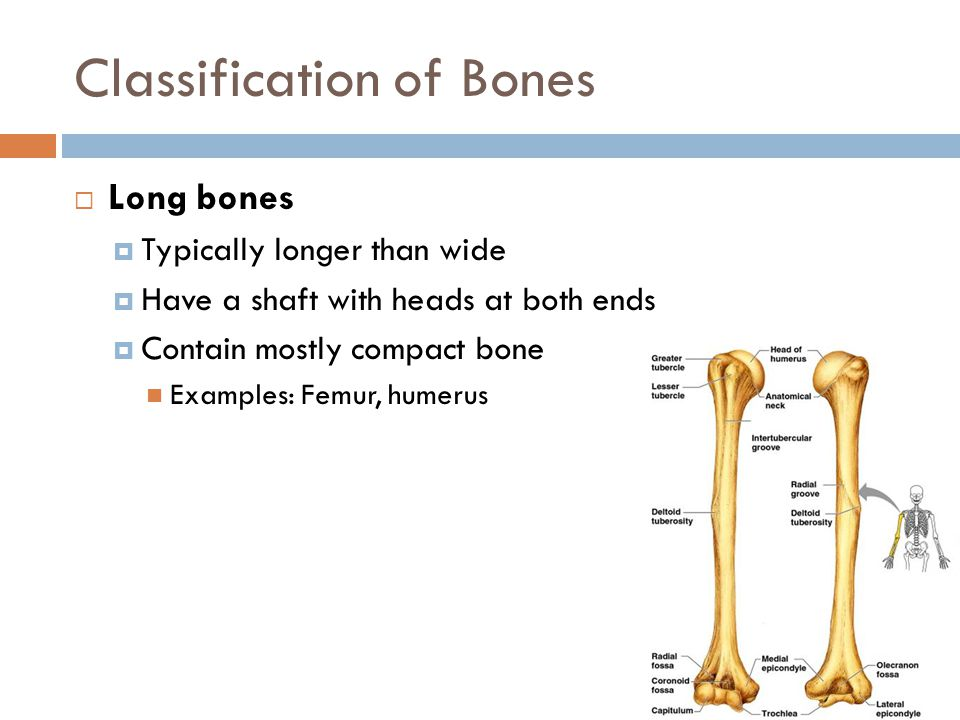 Classification of Bones  Long bones  Typically longer than wide  Have a shaft with heads at both ends  Contain mostly compact bone Examples: Femur