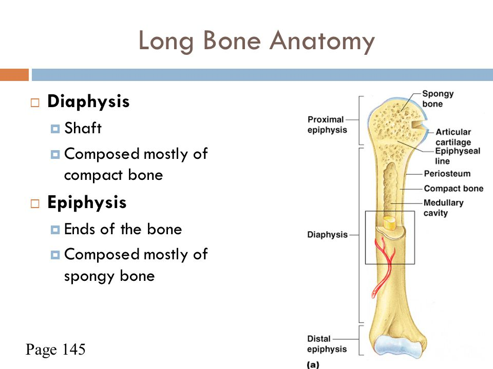 Long Bone Anatomy  Diaphysis  Shaft  Composed mostly of compact bone  Epiphysis  Ends of the bone  Composed mostly of spongy bone Figure 5.2a Pa