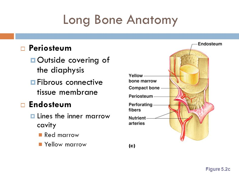 Long Bone Anatomy  Periosteum  Outside covering of the diaphysis  Fibrous connective tissue membrane  Endosteum  Lines the inner marrow cavity Re