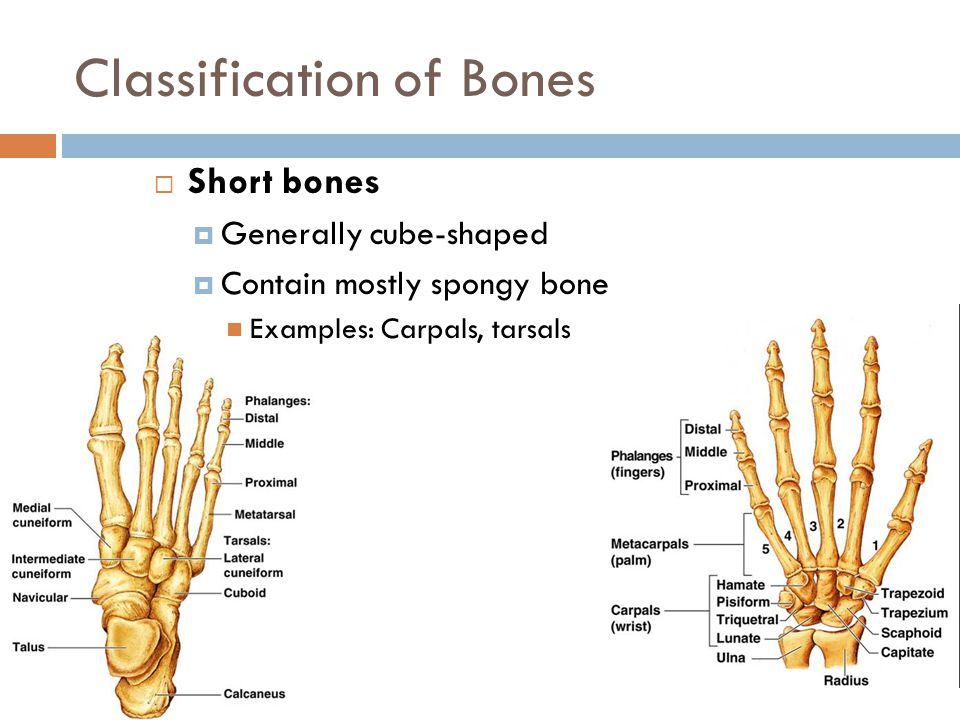Classification of Bones  Short bones  Generally cube-shaped  Contain mostly spongy bone Examples: Carpals, tarsals