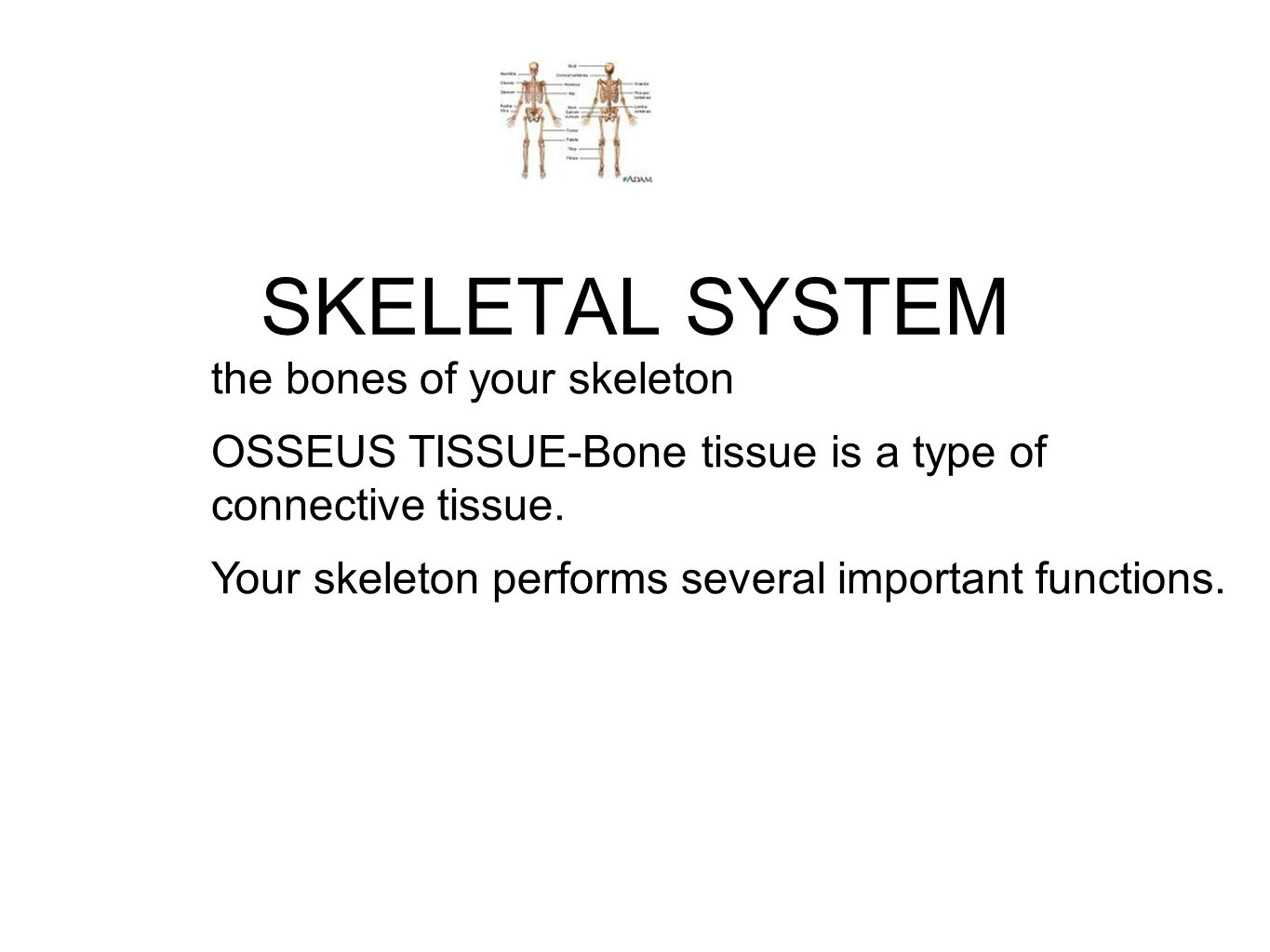 SKELETAL SYSTEM the bones of your skeleton OSSEUS TISSUE-Bone tissue is a type of connective tissue. Your skeleton performs several important function