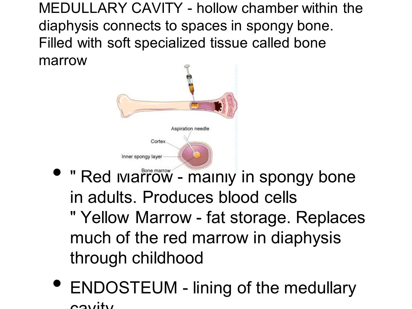 MEDULLARY CAVITY - hollow chamber within the diaphysis connects to spaces in spongy bone. Filled with soft specialized tissue called bone marrow