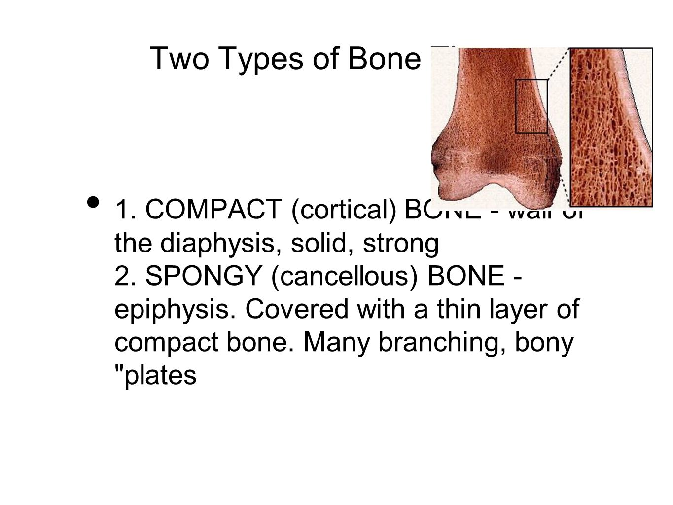 Two Types of Bone Tissue 1. COMPACT (cortical) BONE - wall of the diaphysis, solid, strong 2. SPONGY (cancellous) BONE - epiphysis. Covered with a thi