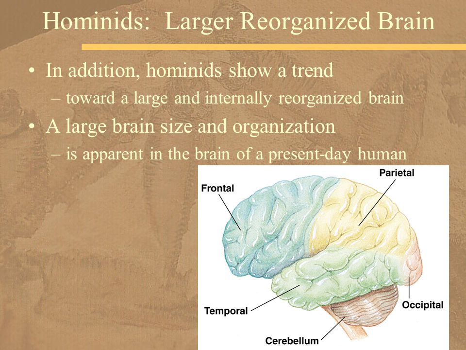 In addition, hominids show a trend –toward a large and internally reorganized brain A large brain size and organization –is apparent in the brain of a present-day human Hominids: Larger Reorganized Brain